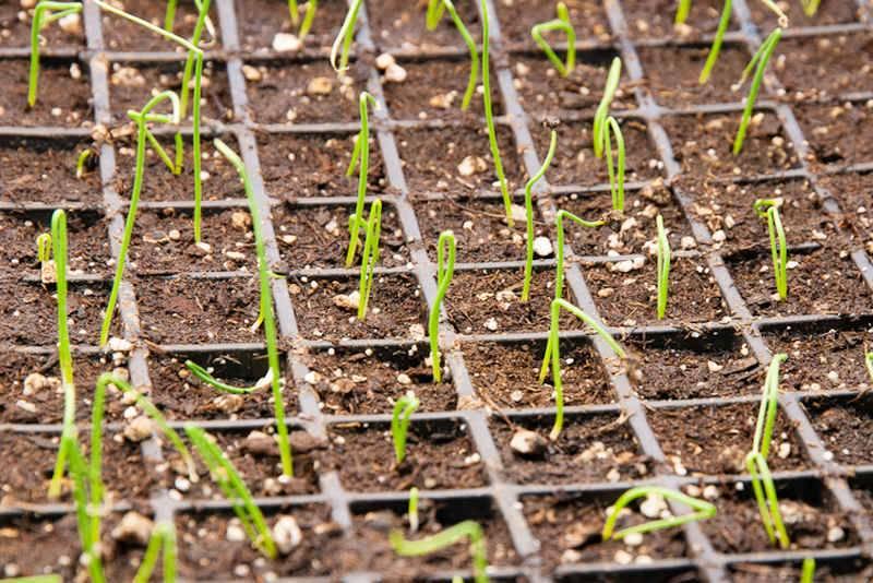 Как выращивать лук порей из семян