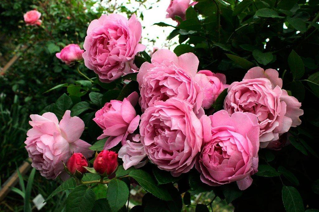 Плетистые розы: описание 20 сортов, посадка, уход | 75 фото