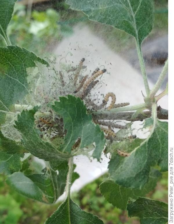 Гусеницы на яблоне в паутине – появилась яблонная моль