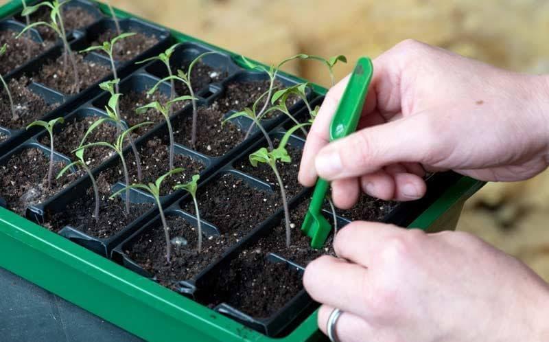 Когда сеять помидоры на рассаду по лунному календарю 2021