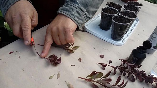 Размножение барбариса черенками и делением, выращивание барбариса из семян, как размножить барбарис отводками