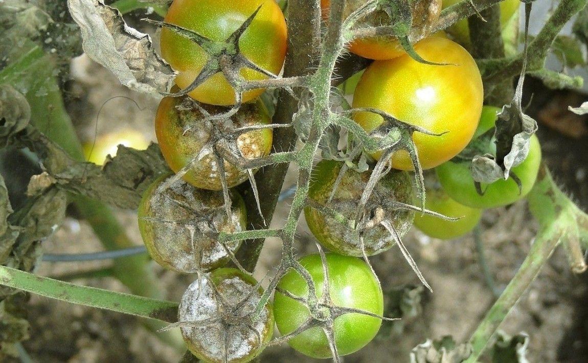 Чем лечить серую гниль на томатах: профилактика, методы борьбы