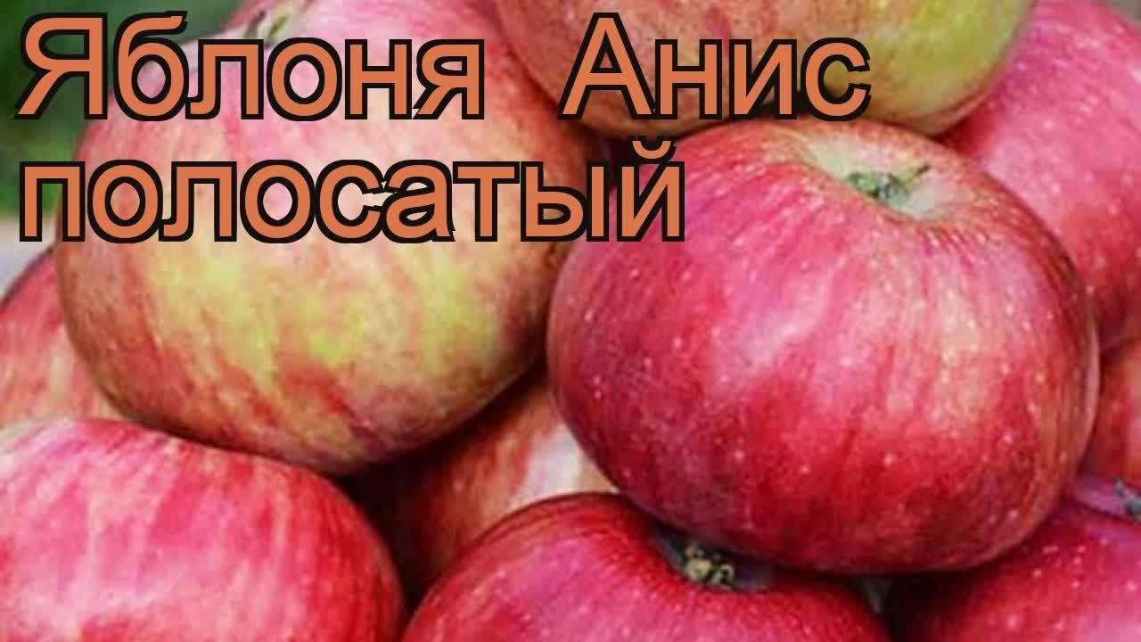 """Яблоня """"анис свердловский"""": описание сорта, фото, отзывы"""