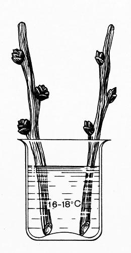 Можно ли вырастить облепиху из косточки в домашних условиях. свойства и особенности выращивания облепихи. | дачная жизнь