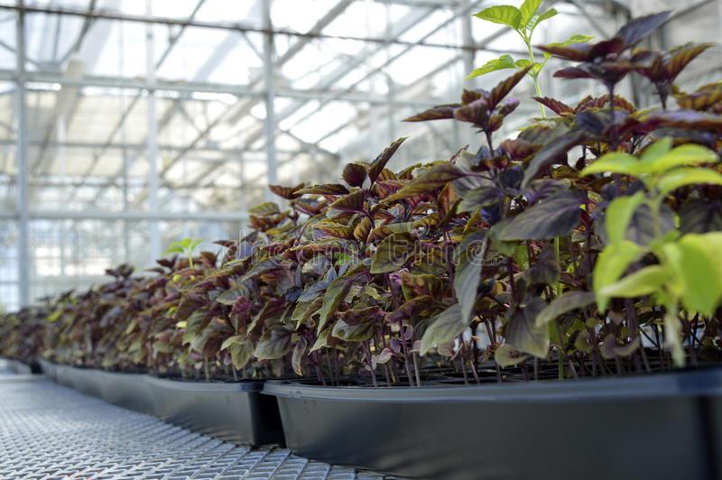 """Как выращивать базилик в теплице на продажу? - журнал """"совхозик"""""""