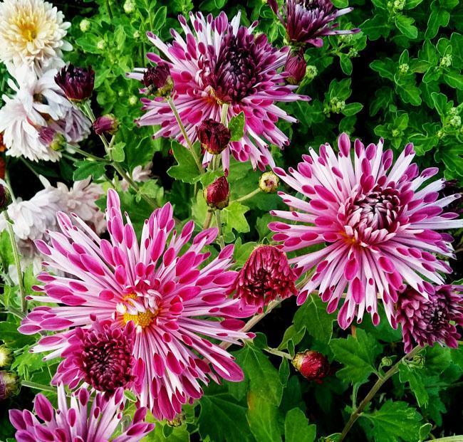 Сорта хризантем: обзор, описание, особенности выращивания - sadovnikam.ru