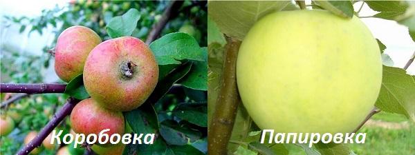 Карликовая яблоня: пошаговое руководство по посадке и уходу за низкорослыми деревьями
