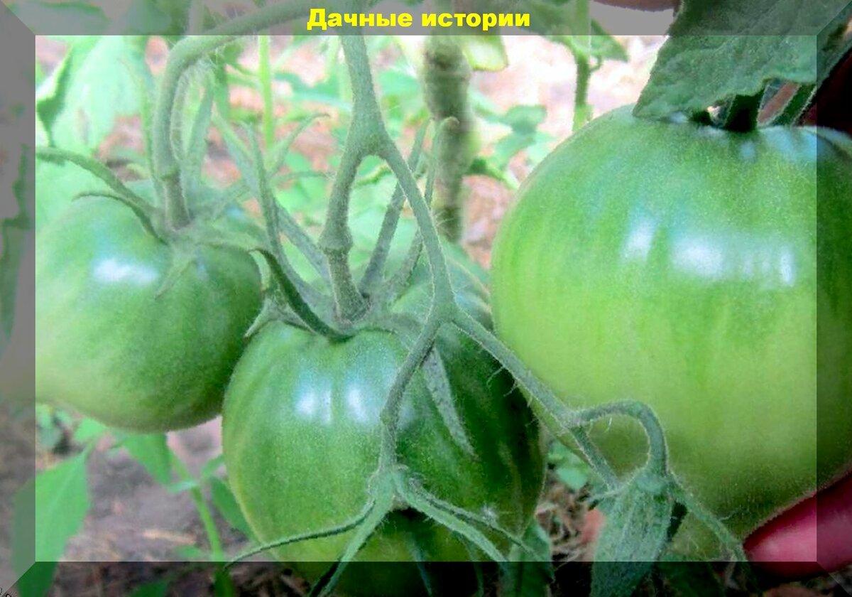 Томат лягушка царевна: описание сорта, отзывы, фото | tomatland.ru