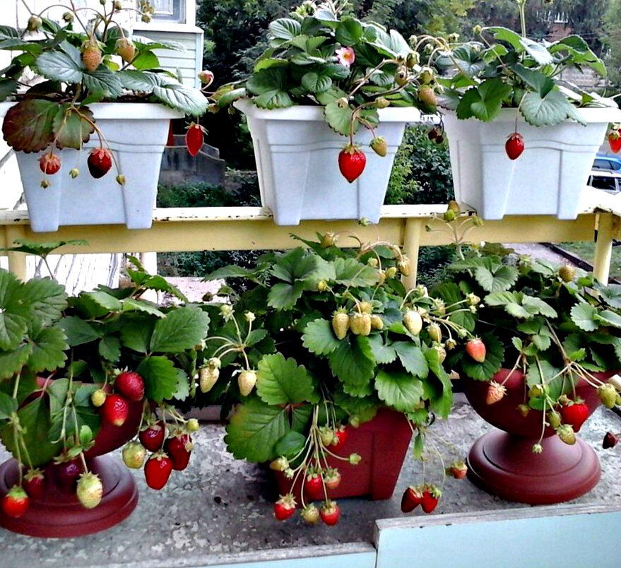 Выращивание клубники круглый год на подоконнике в доме: можно ли вырастить в условиях квартиры, какие сорта, как сажать рассаду и семена, и освещение зимой