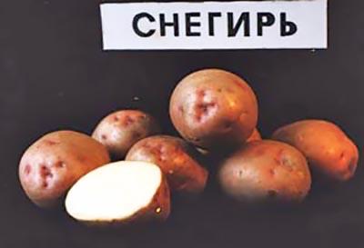 Картофель снегирь: описание и характеристика сорта, вкусовые качества, выращивание и уход, фото