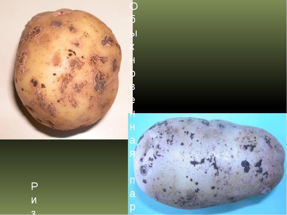 Признаки, причины и профилактика ризоктониоза картофеля (черной парши)