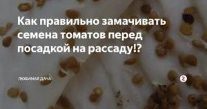 Подготовка семян томатов к посадке на рассаду - дачные советы.ру
