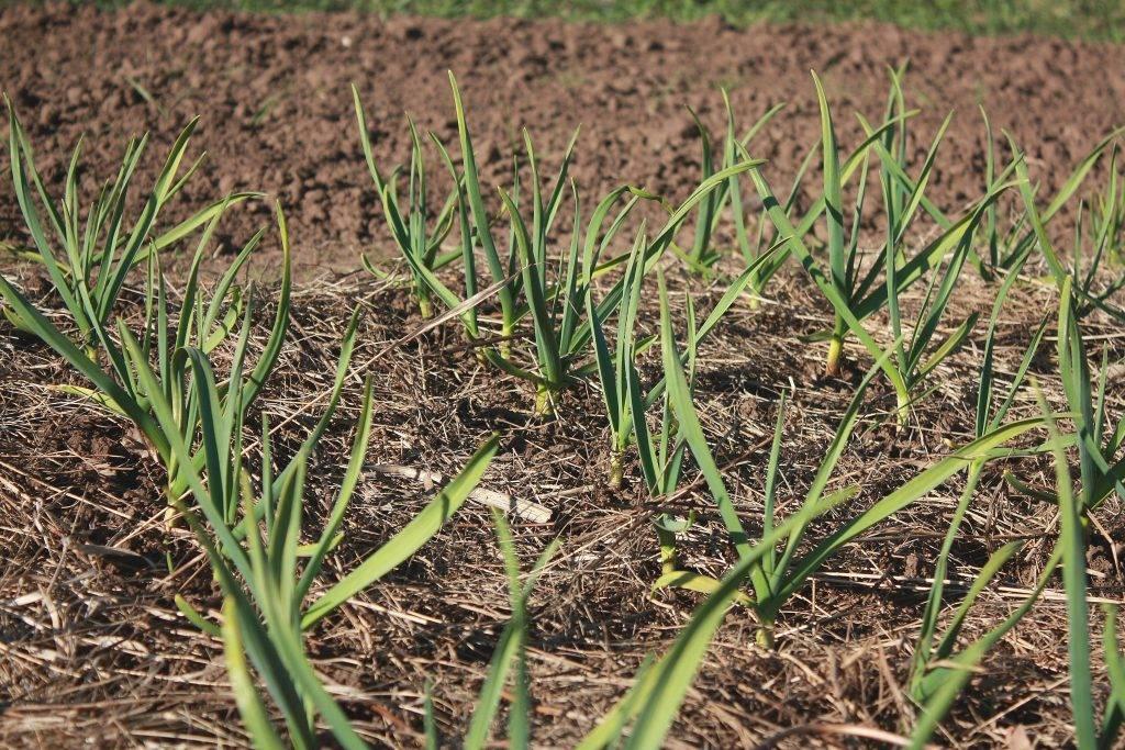 Почему желтеет лук на грядке и что нужно делать : новости, лук, огород, урожай, сад и огород