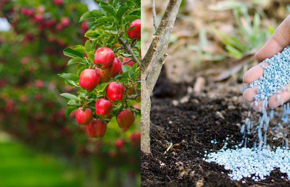 Подкормка сливы в разные периоды вегетационного периода