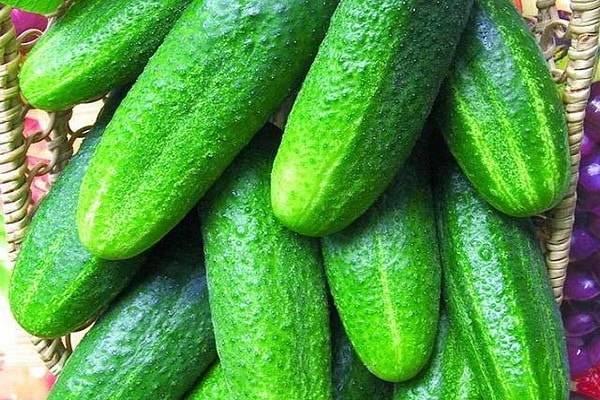 Сорт огурцов беттина f1: описание, отзывы, характеристика сорта, фото, урожайность, особенности выращивания, достоинства и недостатки