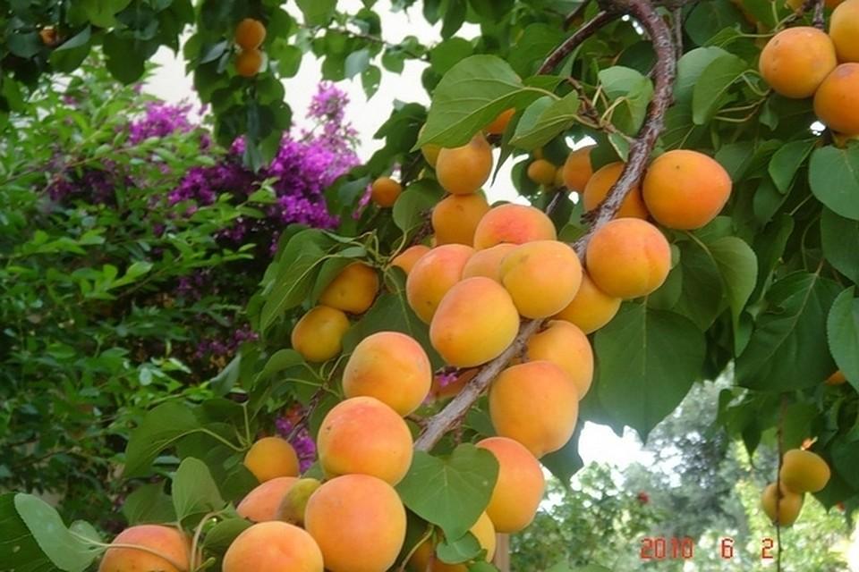 Описание и выращивание абрикоса сорта маньчжурский