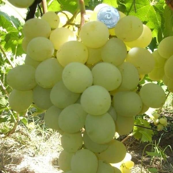 Описание сорта винограда антоний великий: фото, видео и отзывы | vinograd-loza