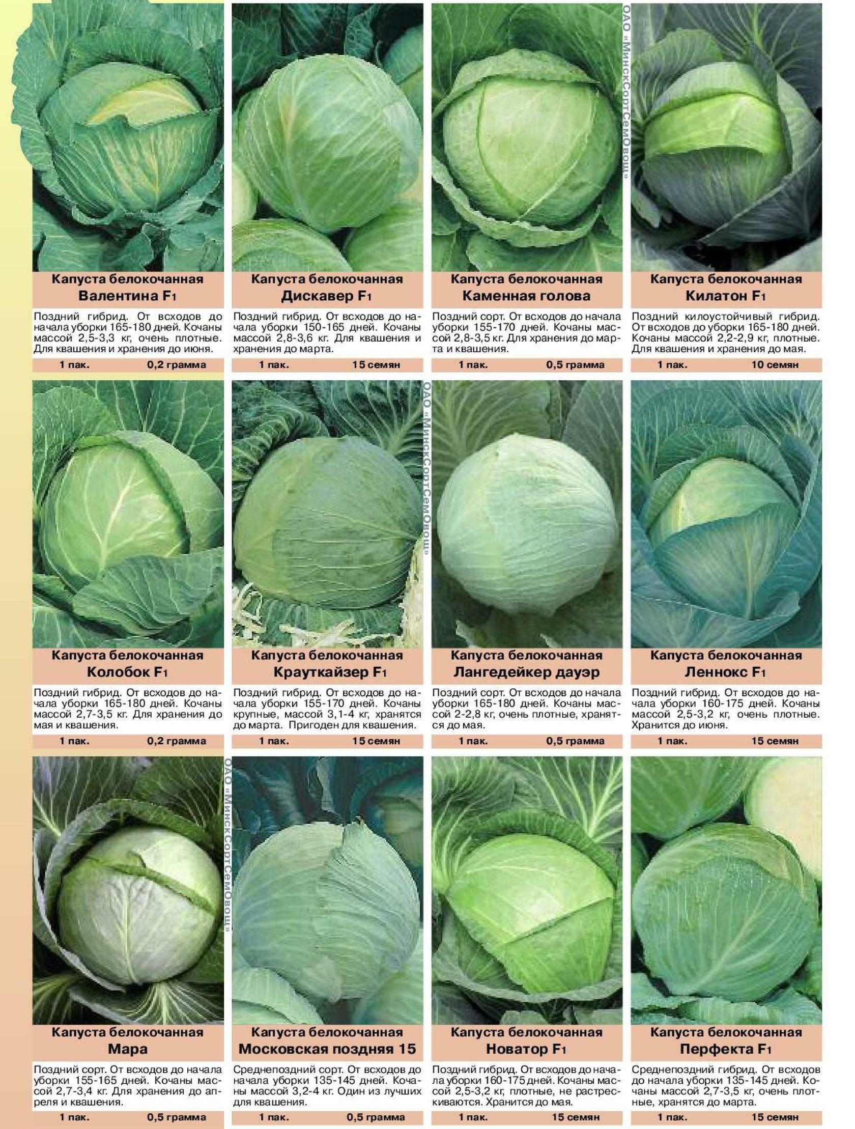 Описание и характеристики сортов голландской капусты, выращивание и уход