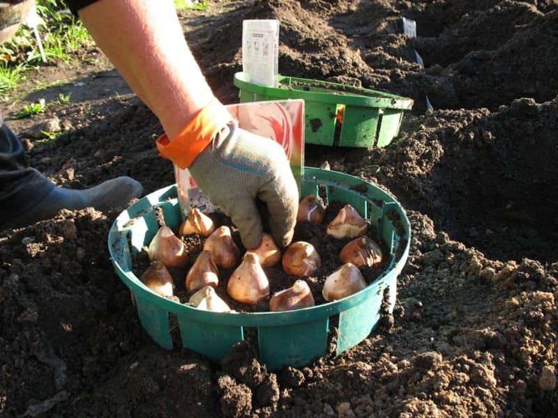 Посадка тюльпанов в корзины для луковичных, ящики, горшки
