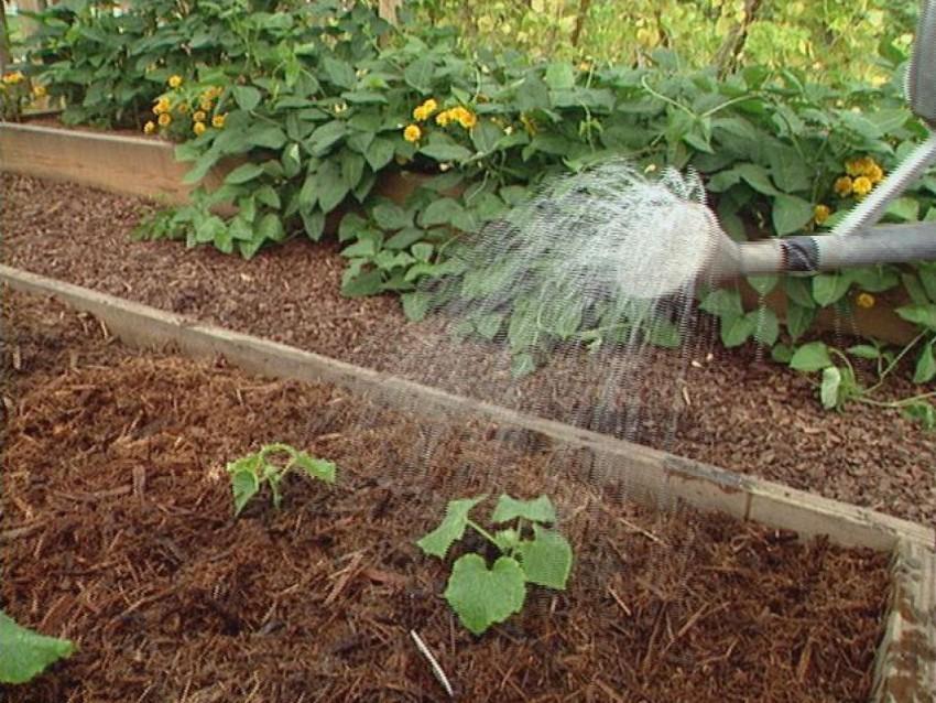 Как часто нужно поливать кабачки в открытом грунте, нормы и методы орошений