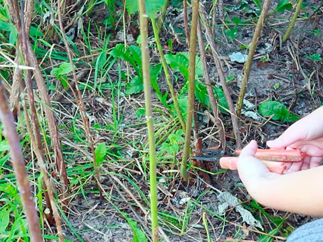 Подкормка малины после сбора урожая (чем подкармливать)
