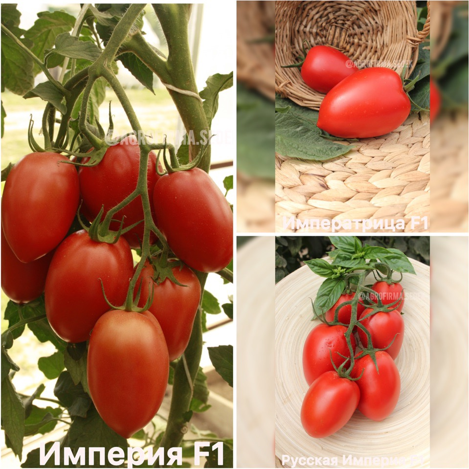 Как собрать рекордный урожай? самые популярные тепличные сорта высокоурожайных и стойких к болезням томатов