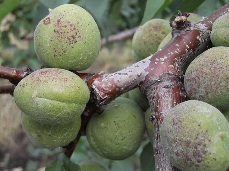 Почему осыпаются цветы и зеленые плоды абрикоса: причины и решение