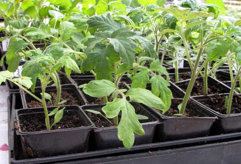 Высадка рассады помидоров в теплице ганичкина
