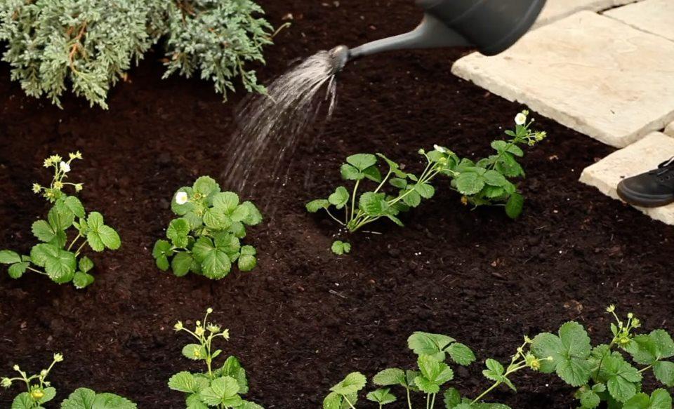 Выращивание сальвии из семян, посадка и уход в открытом грунте