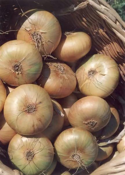 Сорт лука штутгартер ризен. описание, особенности выращивания и ухода