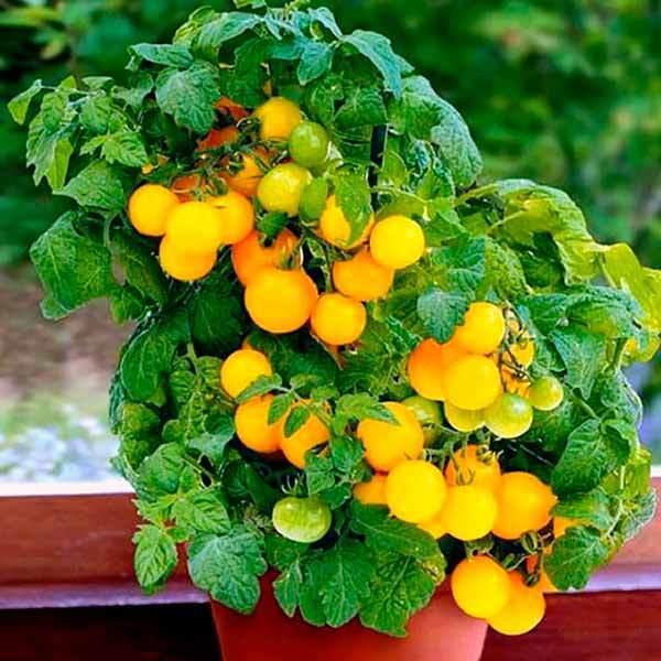 «сказочный» томат красная шапочка: ранний и неприхотливый
