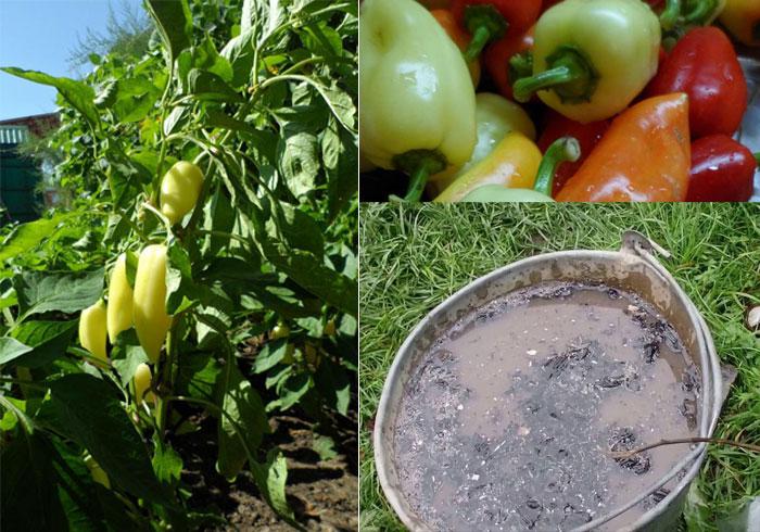 Подкормка перца золой - рассады, дома, в теплице, открытом грунте, как развести, пропорции