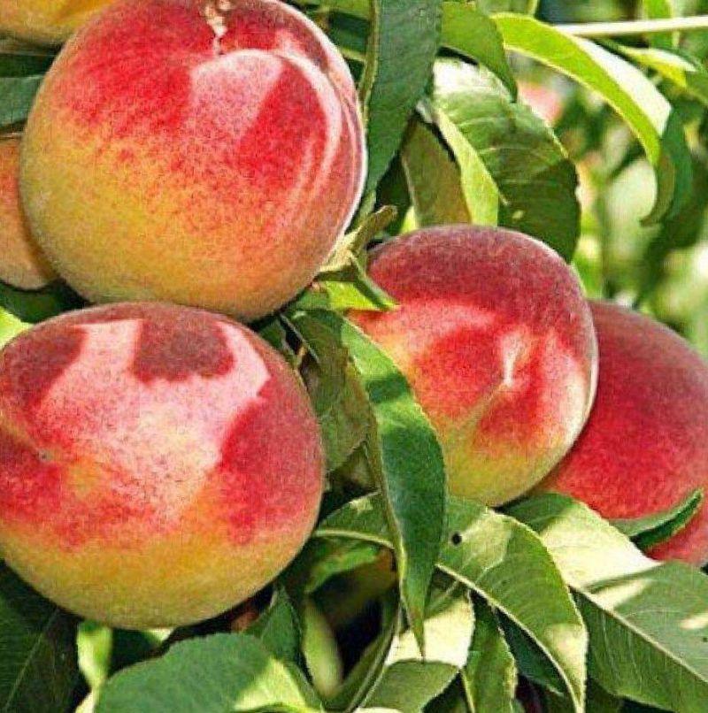 Персик редхейвен: фото и описание, особенности выращивания, отзывы