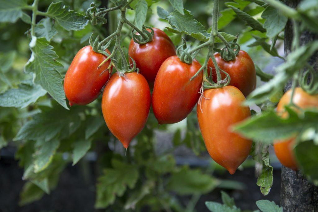 Описание сорта томата жар, особенности выращивания и урожайность
