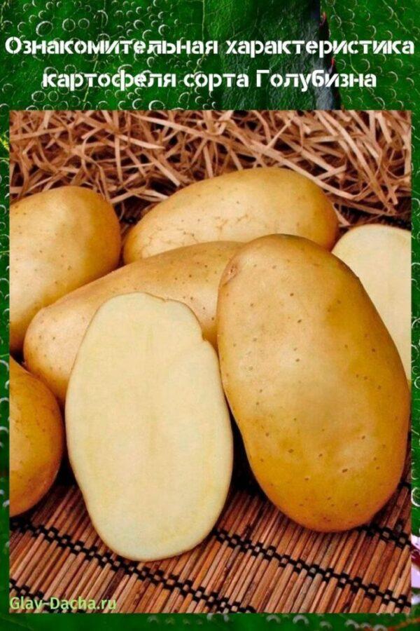 Картофель голубизна: описание и характеристики сорта, посадка и уход, отзывы с фото