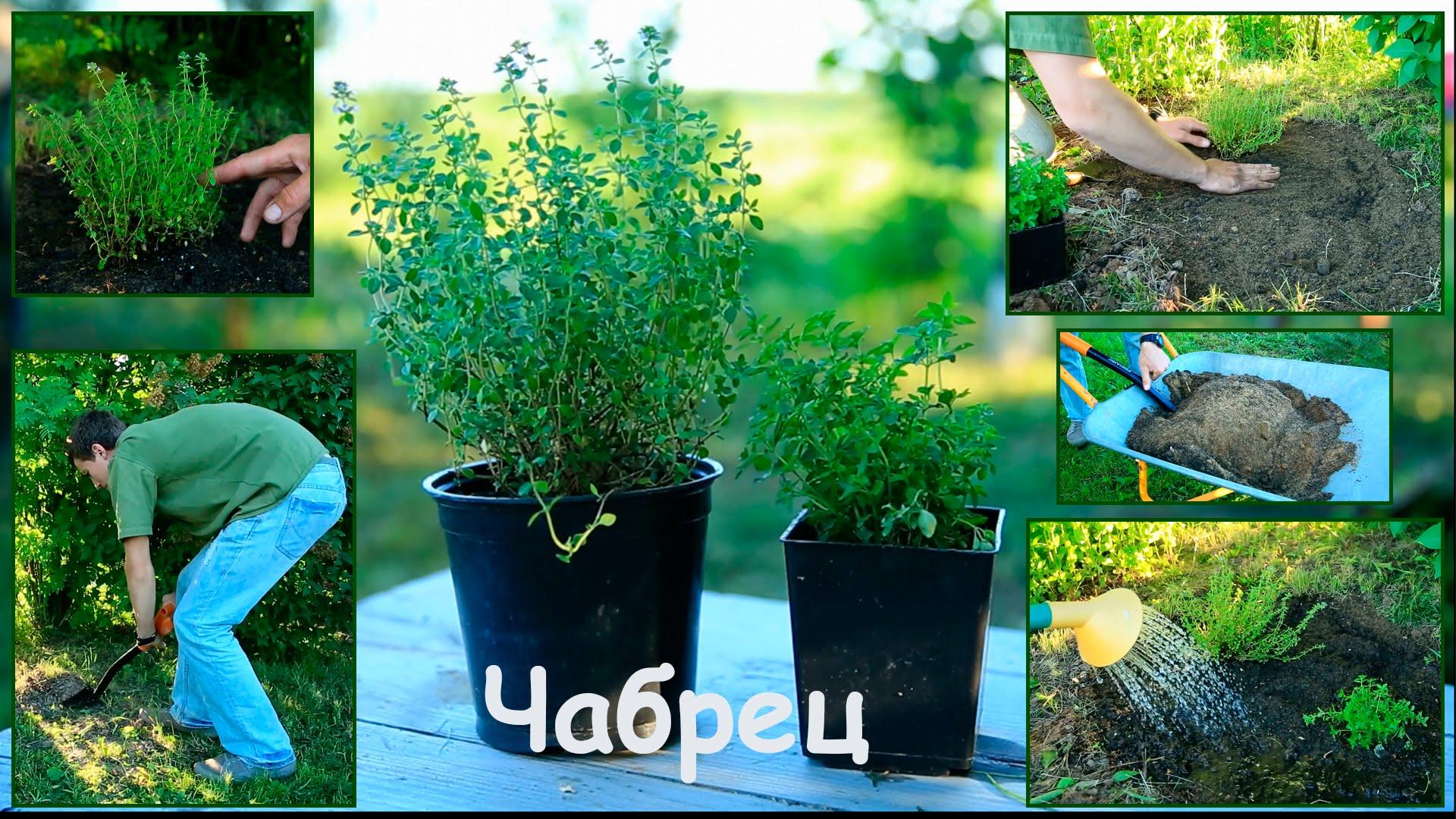 Тимьян, или чабрец: выращивание из семян, посадка и уход в открытом грунте