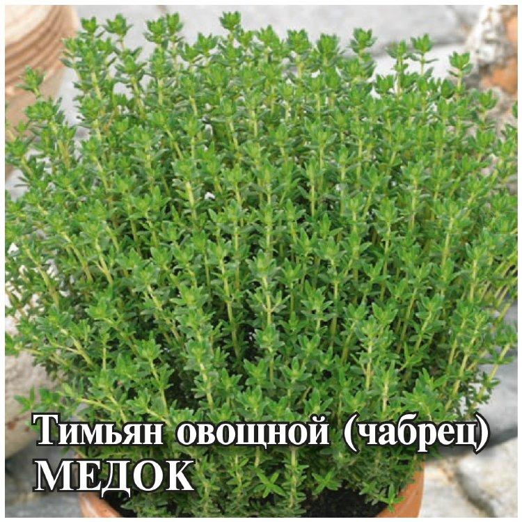 Тимьян: выращивание и описание растения