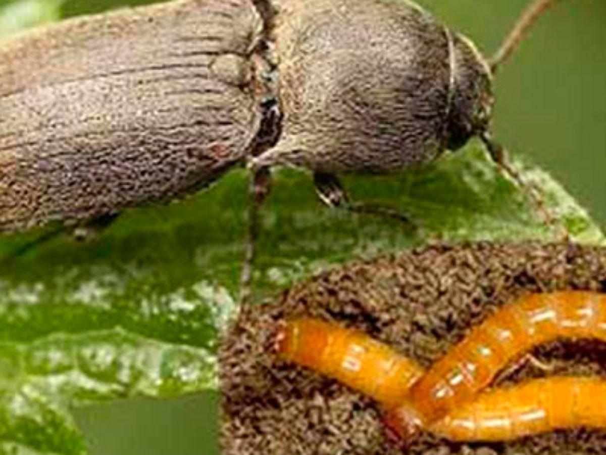 Как бороться с майским жуком: описание хруща, чем вредит, обзор основных методов борьбы с ним и лучших препаратов для обработки