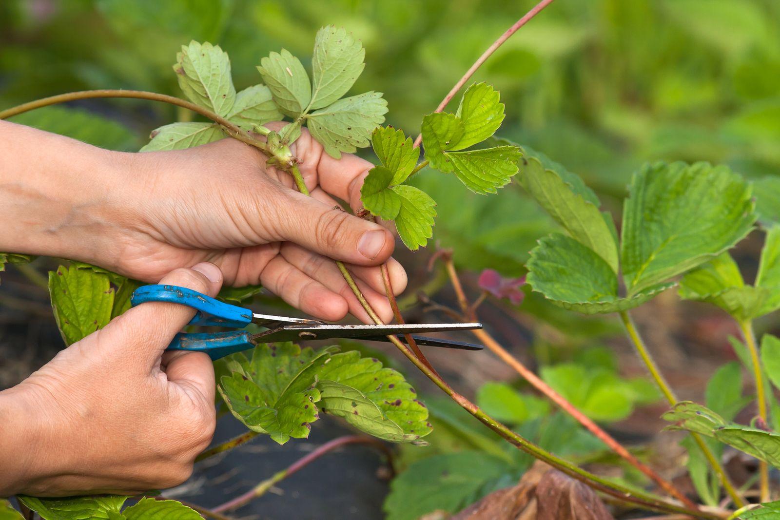 Клубника: когда обрезать усы и листья после посадки весной, видео и фото