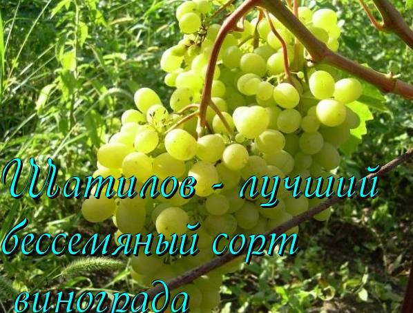 Очень ранний виноград памяти учителя, положительные и отрицательные качества, рекомендации по культивированию