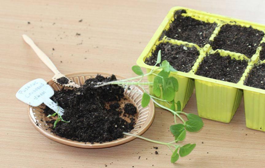 Физалис: выращивание из семян, посадка и уход в открытом грунте, фото