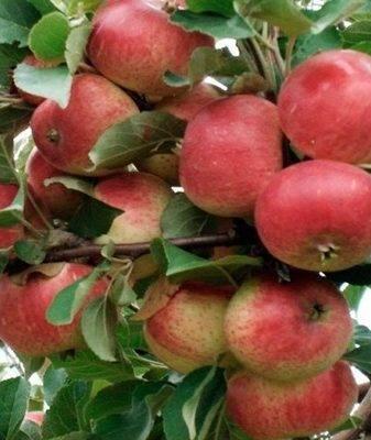 Описание сорта яблони коричное полосатое: посадка и уход, урожайность
