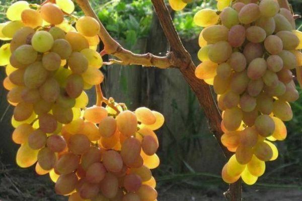 Виноград румба, описание и характеристики сорта, особенности выращивания и ухода