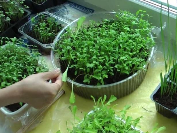 Руккола: посадка, выращивание и уход в открытом грунте, в теплице, в горшке на подоконнике