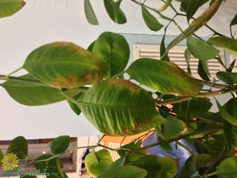 Болезни мандарина домашнего причины и лечение