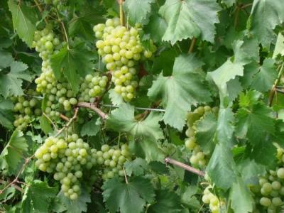 Виноград галбена ноу (золотинка) описания сорта, особенности выращивания