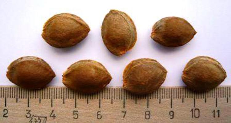 Как правильно выращивать абрикос из косточки