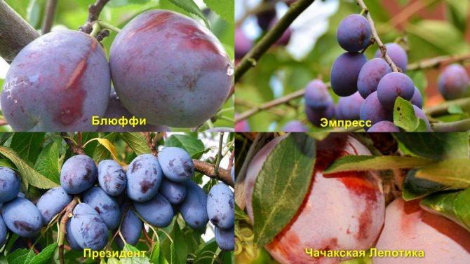 Слива стартовая: описание сорта и опылители, выращивание саженцев и уход
