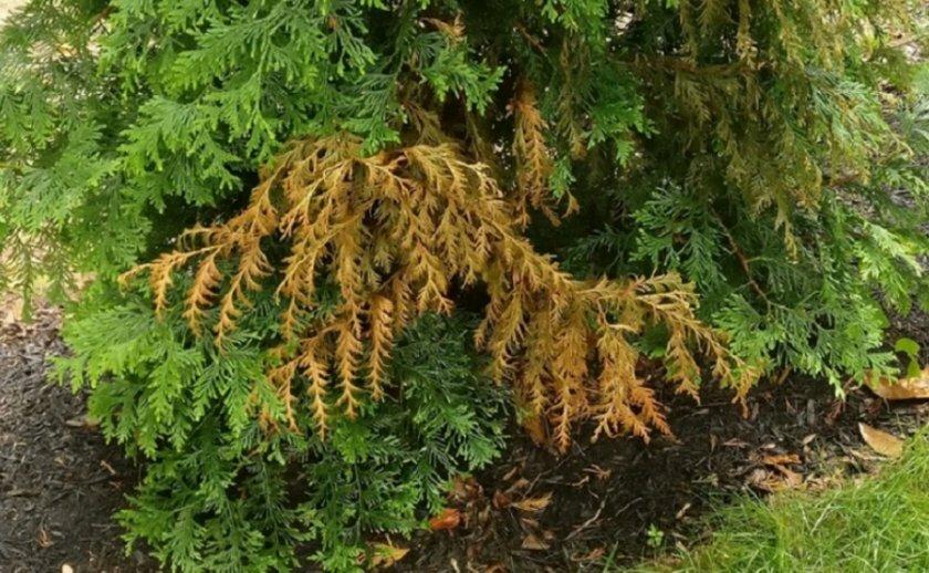 Почему может желтеть туя, какие риски несёт дереву осень?