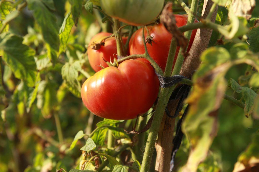 Томат андреевский сюрприз характеристика и описание сорта урожайность отзывы фото